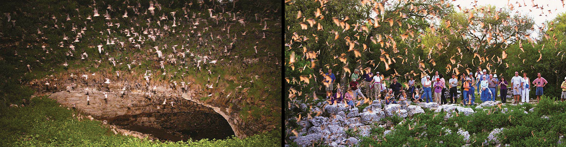 Colony of Bats Exiting Cave