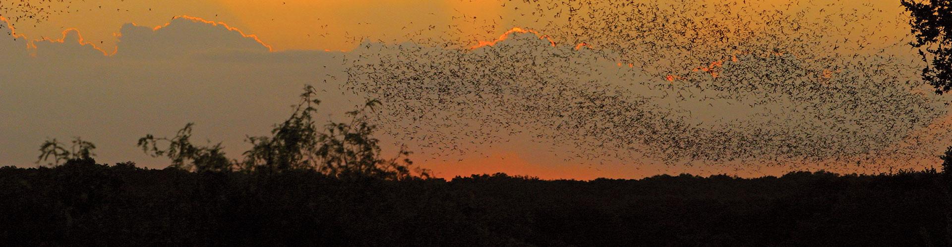 Colony of Bats in Flight at Dusk