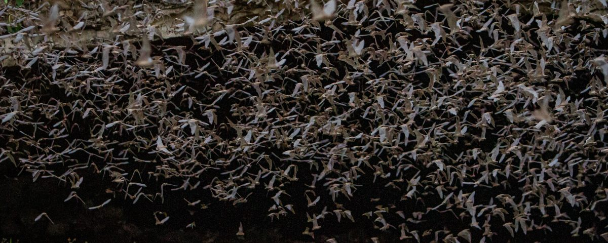 Millions of Bats flying out of Bracken Cave | Natural Bridge Caverns